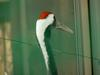 두루미 Grus japonensis (Red-crowned Crane)