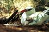 Red-tailed Tropicbird mother and chick (Phaethon rubricauda)