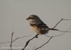 물때까치 Lanius sphenocercus (Chinese Grey Shrike)
