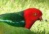 mugshots (birds) 4 -- King Parrot