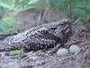 쏙독새 Caprimulgus indicus (Grey Nightjar, Jungle Nightjar)