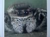 털보깡충거미 Carrhotus xanthogramma (Hairy Jumping Spider)