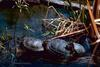 Red-eared Pond Slider line (Trachemys scripta elegans)