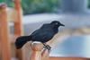Greater Antillean Grackle (Quiscalus niger)