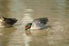 쇠오리 Anas crecca crecca (Common Teal)