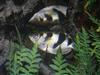 Archer Fish == banded archerfish (Toxotes jaculatrix)