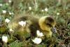 Greater White-fronted Goose baby (Anser albifrons)