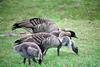 Nene, Hawaiian Goose family (Branta sandvicensis)