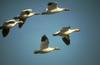 Snow Goose flock in flight (Chen caerulescens)