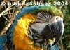 Macaw - blue-and-gold macaw (Ara ararauna)