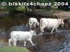 White cattle crossing stream