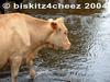 Cow by stream