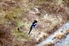 까치 Pica pica (Black-billed Magpie)
