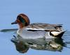 Common Teal (Anas crecca crecca)