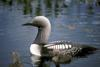 Arctic Loon & chicks (Gavia arctica)