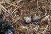 Glaucous-winged Gull eggs (Larus glaucescens)