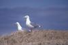 Glaucous-winged Gull pair (Larus glaucescens)