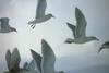 Glaucous-winged Gull flock flying (Larus glaucescens)