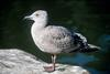 Western Gull juvenile (Larus occidentalis)