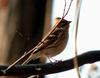 Yellow -throated Bunting female (Emberiza elegans)