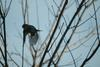 때까치 Lanius bucephalus (Bull-headed Shrike)