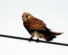 Falco tinnunculus (Common Kestrel)