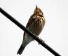 Anthus rubescens (Buff-bellied Pipit, American Pipit)