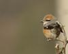 Lanius bucephalus (Bull-headed Shrike)