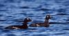 White-winged Scoter (Melanitta fusca)