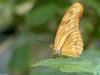 Critters - Orange Julia Butterfly (Dryas julia)
