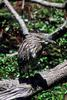 Young Black-crowned Night Heron (Nycticorax nycticorax)