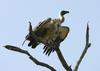 African White-backed Vulture Kruger National Park South Africa