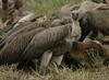 African White-backed Vultures feeding Kruger National Park South Africa