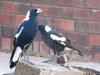 bully boys (Australian Magpies)