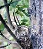 Yellow Warbler eggs (Dendroica petechia)