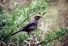 Brown-headed Cowbird female (Molothrus ater)