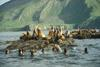 Steller Sea Lion colony (Eumetopias jubatus)