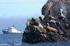 Steller Sea Lion herd (Eumetopias jubatus)