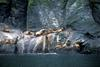 Steller Sea Lion group (Eumetopias jubatus)