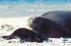 Hawaiian Monk Seal with pup (Monachus schauinslandi)