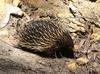 echidna in the sun 1