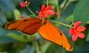 Orange Julia Butterfly (Dryas julia) 01063