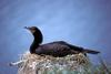Double-crested Cormorant on nest (Phalacrocorax auritus)
