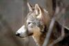 Timber Wolf (Canis lupus lycaon)