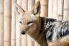 검은등재칼 Canis mesomelas (Black-backed Jackal)