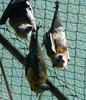 flying foxes 4