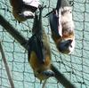 flying foxes 3