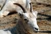 돌산양(石山羊) Ovis dalli (Dall's Sheep)