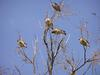 Birds, Cedar Waxwings