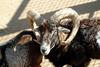 Mouflon Sheep male (Ovis musimon)